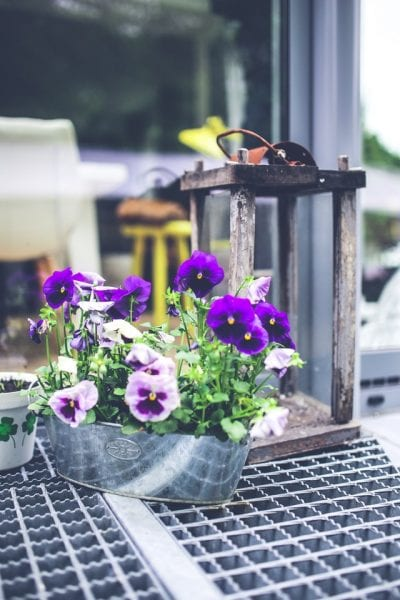 Old lantern and pansies