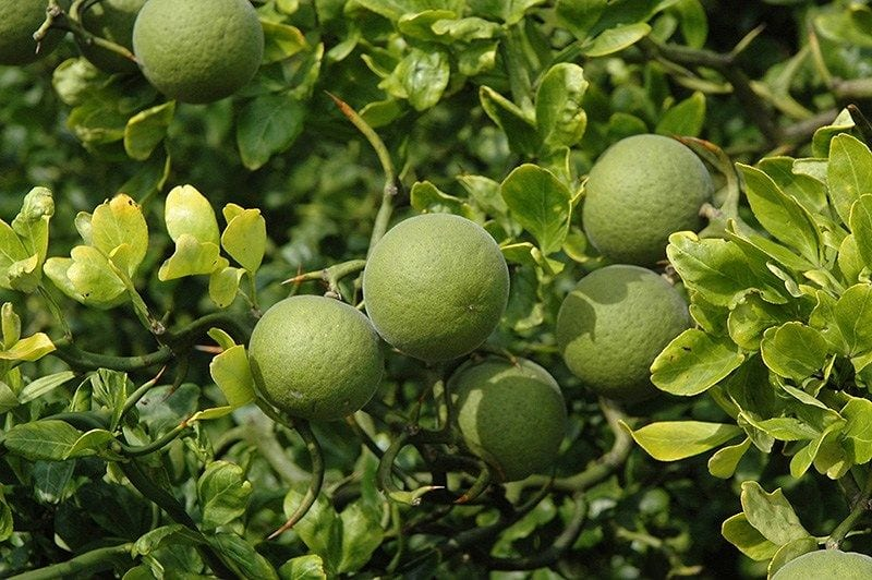 Siberian Lemon